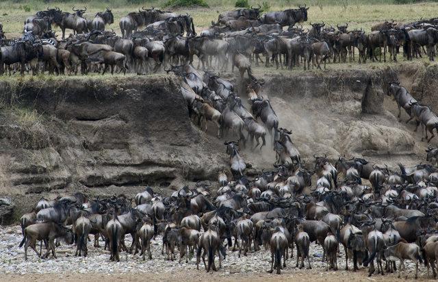 GOLD-Migration-Serengeti