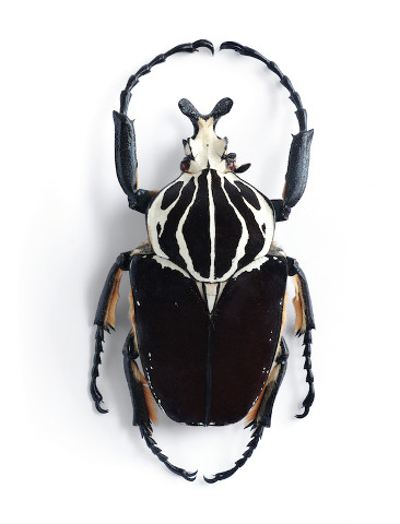 GOLD-African-Goliath-beetle