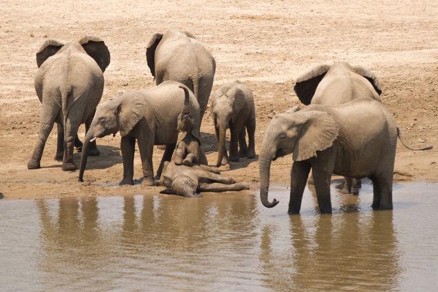 GOLD-Elephant