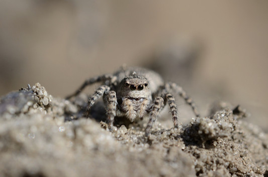 GOLD-Six-eyed-Sand-Spider
