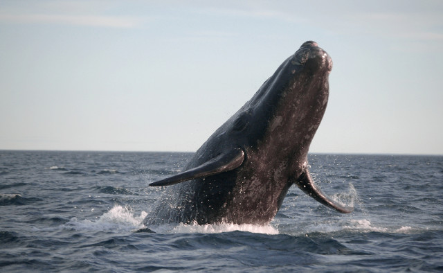 GOLD-Southern-Right-Whale