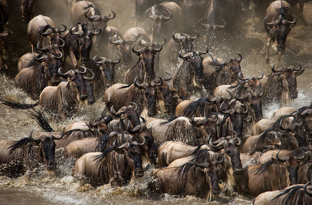 GOLD-Animals-Wildebeest