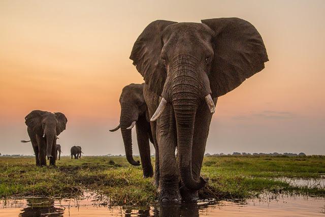 GOLD-Elephants-at-dusk