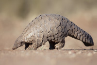 GOLD-Pangolin